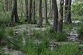 Bruchwald im Ladebower Moor bei Greifswald.jpg