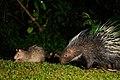 Brush-tailed Porcupine, Atherurus macrourus & Malayan Porcupine, Hystrix brachyura in Kaeng Krachan national park (15925250476).jpg