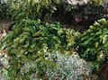 Bryopsis cf. pennata Réunion.jpg