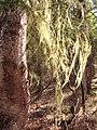 Bryoria lichen (4519b651-0679-4c15-b66f-390c645d526b).jpg
