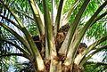 Buah kelapa sawit (1).JPG
