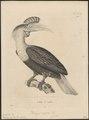 Buceros cassidix - 1700-1880 - Print - Iconographia Zoologica - Special Collections University of Amsterdam - UBA01 IZ19300077.tif
