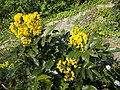 Buda Arboreta. Upper garden. Myrtle spurge (Euphorbia myrsinites). - Budapest District XI.JPG