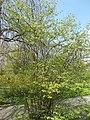 Budai Arborétum. Felső kert. Közönséges mogyoró 'Heterophylla' (Corylus avellana). - Budapest.JPG