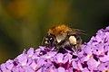 Bumblebee on a butterfly-bush (35857078346).jpg