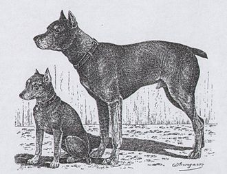 Miniature Pinscher - Drawing of a pinscher and a miniature pinscher by Jean Bungartz