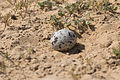 Burhinus oedicnemus Nest.jpg