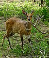 Bushbuck (Tragelaphus scriptus) young male ... (33218524640).jpg