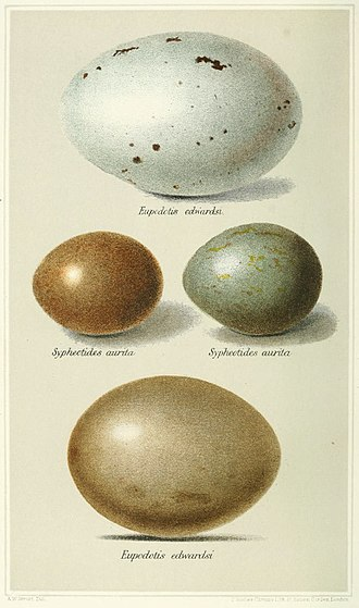 Great Indian bustard - Eggs of the species in comparison to the smaller ones of the lesser florican