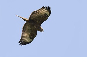 Buteo buteo - Common Buzzard 05.jpg