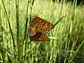 Buterflies (7198726484).jpg