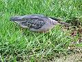 Butorides striata Garcita rayada Striated Heron (6549356697).jpg