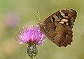 Butterfly Hermit - Chazara briseis.jpg