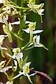 Butterfly Orchid, Pentwyn Farm, Penallt.jpg