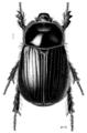 COLE Scarabaeidae Dasygnathus dejeani 1.png
