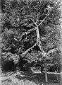 COLLECTIE TROPENMUSEUM 'Jonge bloeiende durian boom Bombaceae' TMnr 10006358.jpg