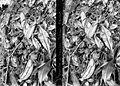 COLLECTIE TROPENMUSEUM Nepenthes gymnaphora Nees TMnr 10006342.jpg