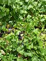 CSIRO ScienceImage 1982 Pinot Noir vines at the Main Ridge Estate.jpg