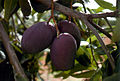 CSIRO ScienceImage 2310 Mangoes on the Tree.jpg