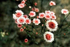CSIRO ScienceImage 2909 The Swamp Daisy Actinodium cunninghamii.jpg