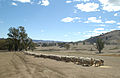 CSIRO ScienceImage 3046 Hand feeding sheep in paddock.jpg