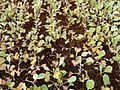 Cabbage saplings.JPG