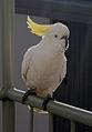 Cacatua galerita -Australia-8e.jpg