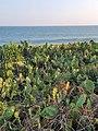 Cactus in southern coast.jpg
