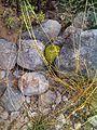 Cactus naciente.jpg
