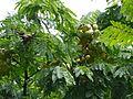 Caesalpinia coriaria (4851865551).jpg