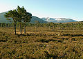 Cairngorms Pinus sylvestris bog forest.jpg