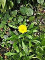 Calendula arvensis 100752.jpg