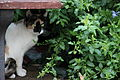 Calico cat in Israeli garden.jpg