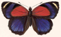 Callicore titania (female upperside).png