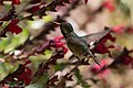 Calliope Hummingbird (male without half tail) Paton's Patagonia AZ 2017-05-17 08-59-14 (33920404174).jpg