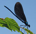 Calopteryx splendens balcanica.jpg