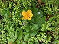 Caltha palustris 05.jpg