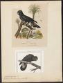 Calyptorhynchus banksii - 1700-1880 - Print - Iconographia Zoologica - Special Collections University of Amsterdam - UBA01 IZ18600025.tif