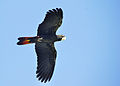 Calyptorhynchus banksii -flying -Australia Zoo-8a.jpg