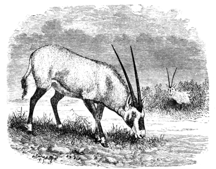Cambridge Natural History Mammalia Fig 163.png