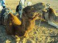 Camel.1.jpg