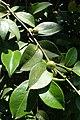 Camellia oleifera kz5.jpg
