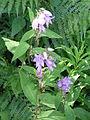 Campanula latifolia 01 by Line1.jpg