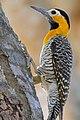 Campo Flicker (Colaptes campestris) female (30849665253).jpg