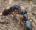Camponotus modoc P1220746a.jpg