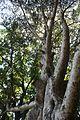 Canarium zeylanicum.jpg