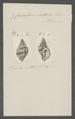 Cancellaria senticosa - - Print - Iconographia Zoologica - Special Collections University of Amsterdam - UBAINV0274 084 05 0010.tif