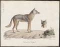Canis anthus - 1818-1842 - Print - Iconographia Zoologica - Special Collections University of Amsterdam - UBA01 IZ22200023.tiff