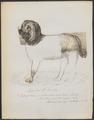 Canis lupus familiaris - 1870 - Print - Iconographia Zoologica - Special Collections University of Amsterdam - UBA01 IZ22300202.tif