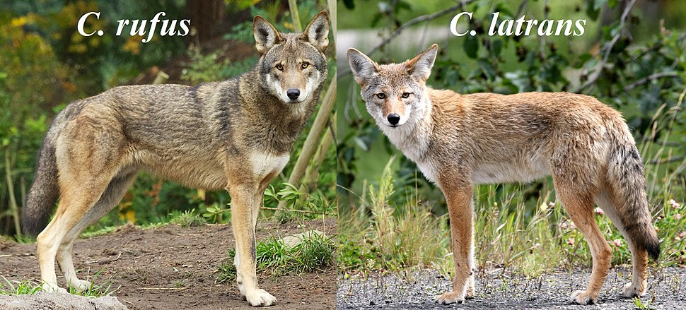 Canis rufus & Canis latrans